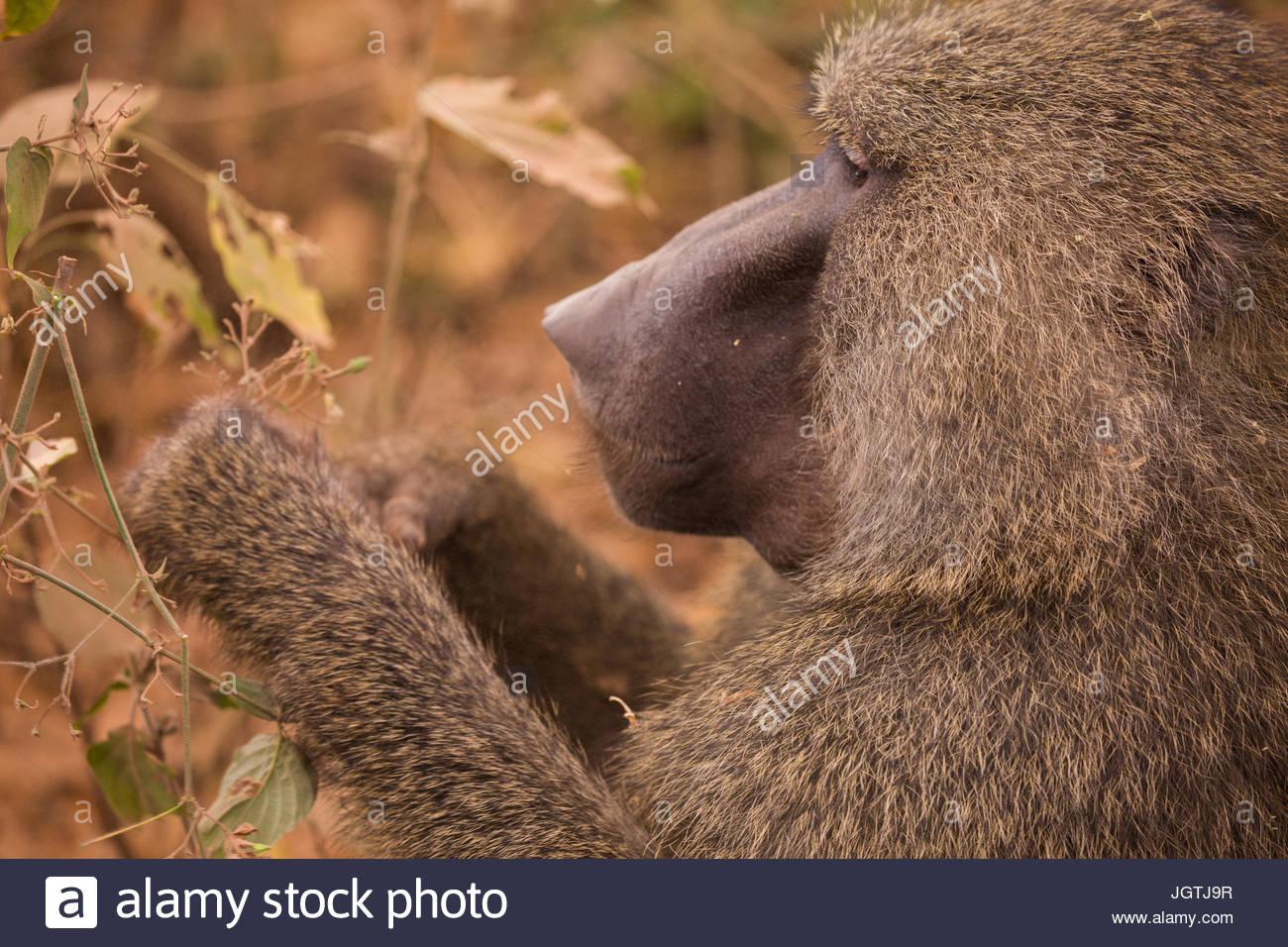 A baboon in Lake Manyara National Park. - Stock Image
