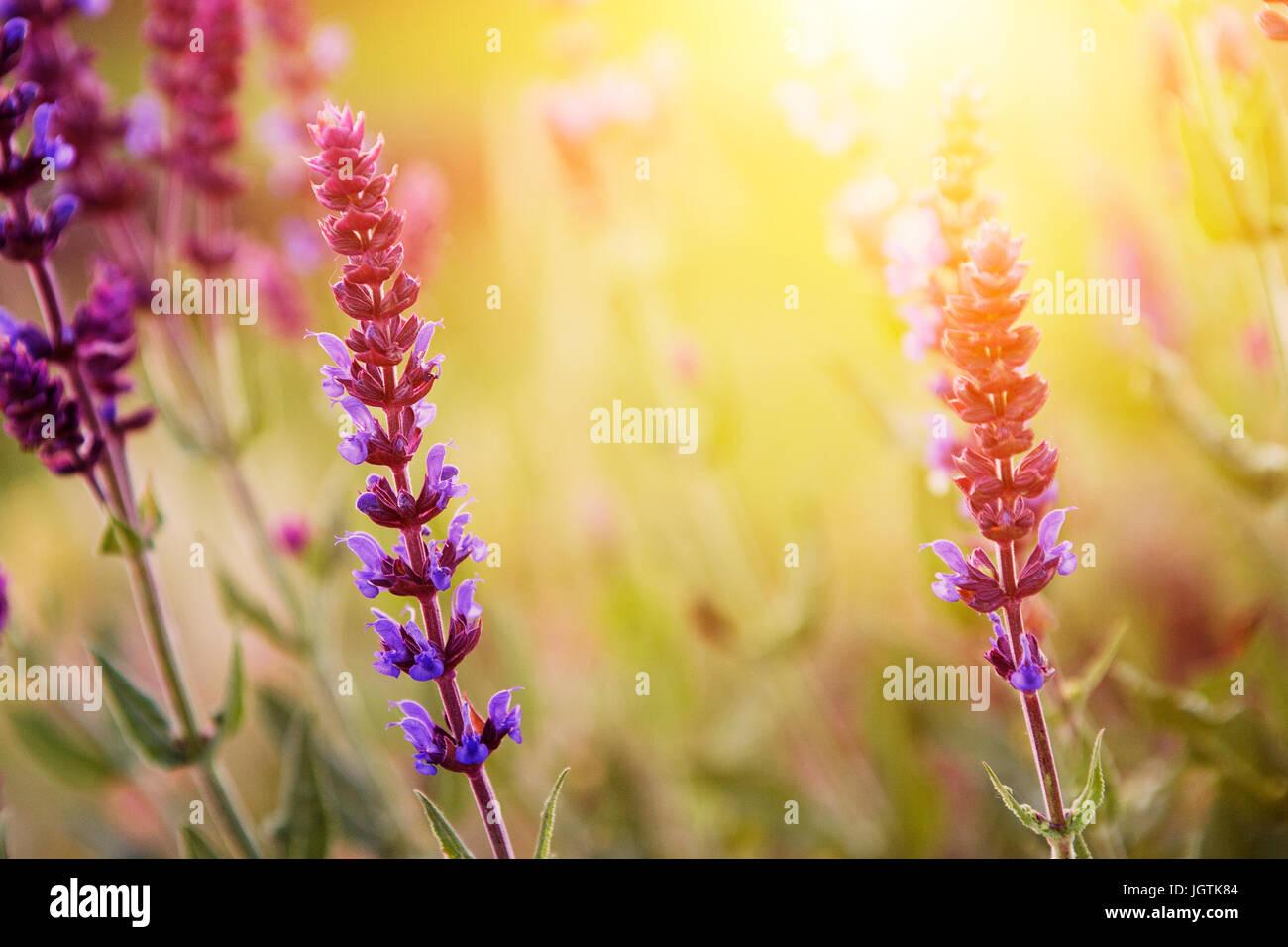 Lavender flower in sunset - Stock Image