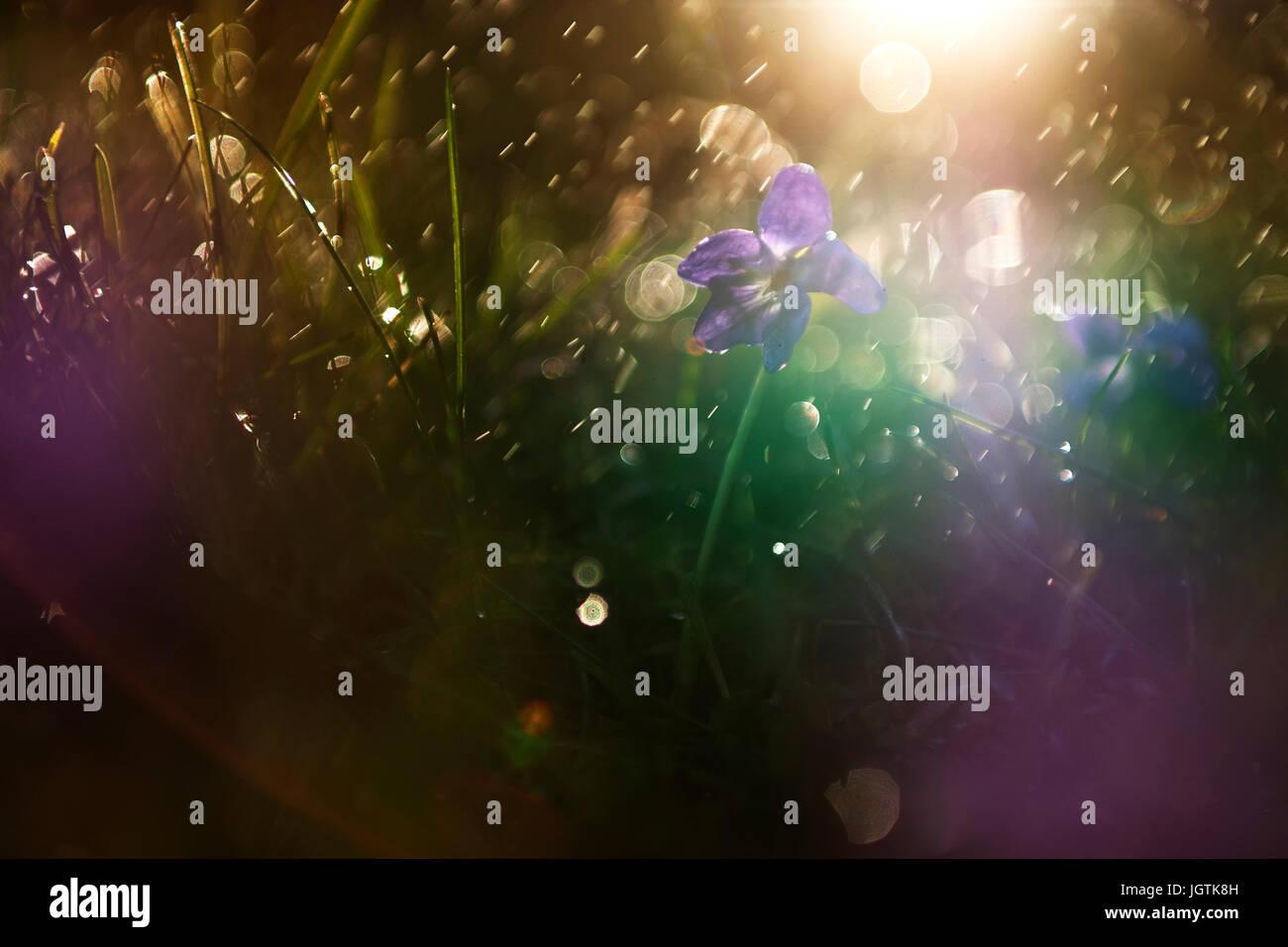 Violet flower in rain - Stock Image