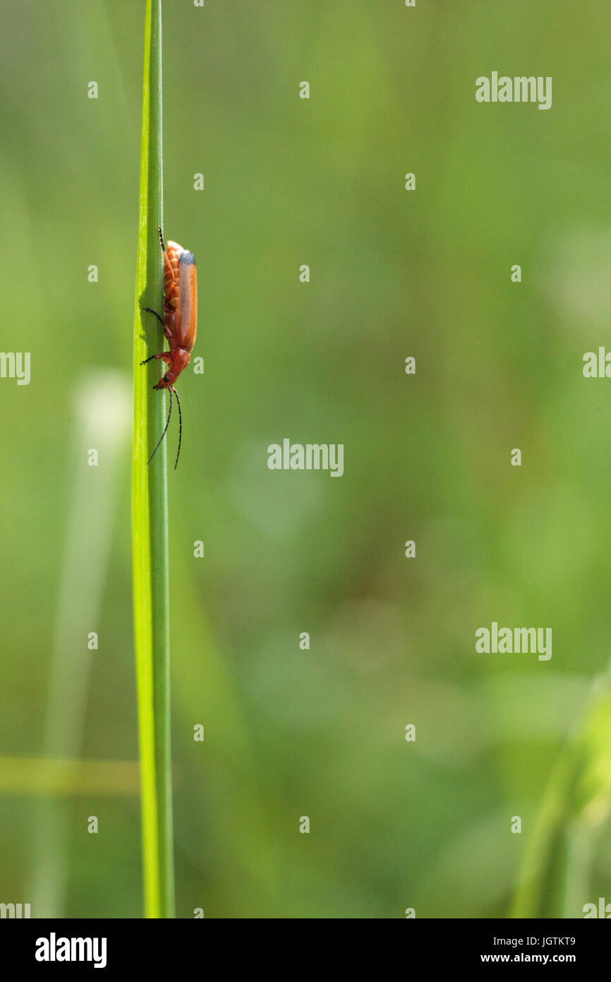 common red soldier beetle - Stock Image