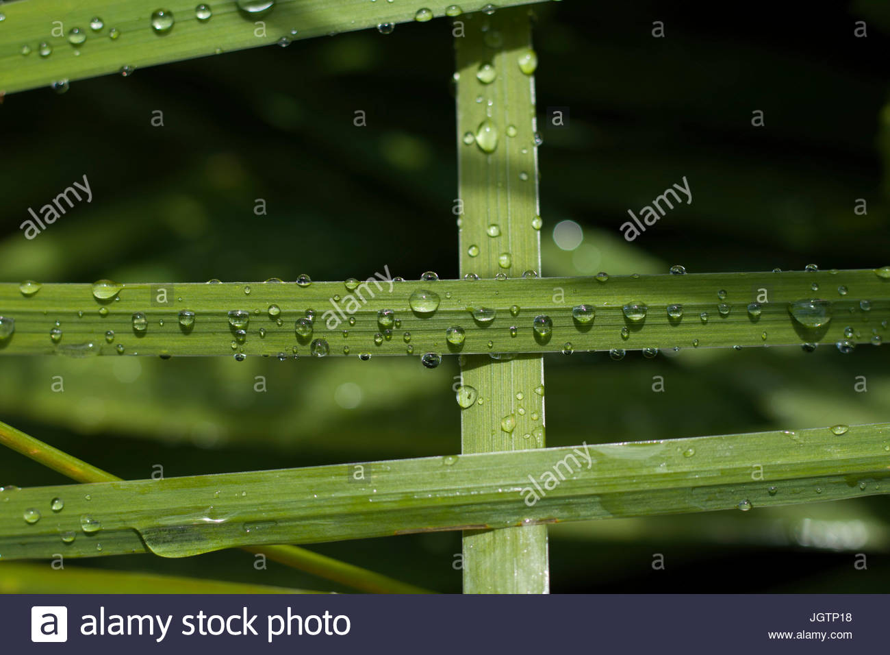 Water drops on the grass - Stock Image