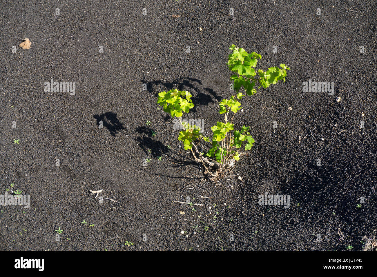 Volcanic wine growing, lava stone murals and hollows protecting vines, vineyard at La Geria, Lanzarote island, Canary Stock Photo