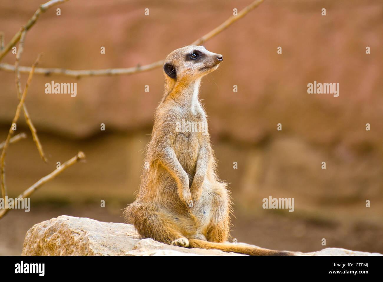 A Meerkat - Stock Image