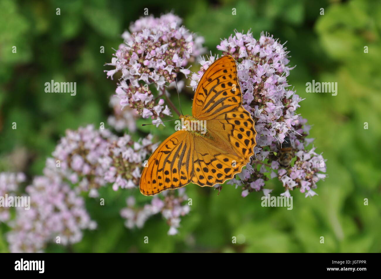 Day butterfly Fleas, insect, animal, nature, Argynnis paphia - Stock Image
