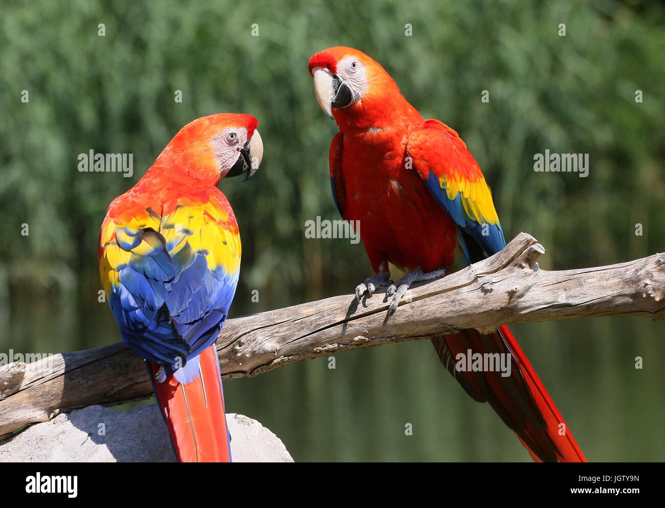 South American Scarlet macaw (Ara macao) Stock Photo