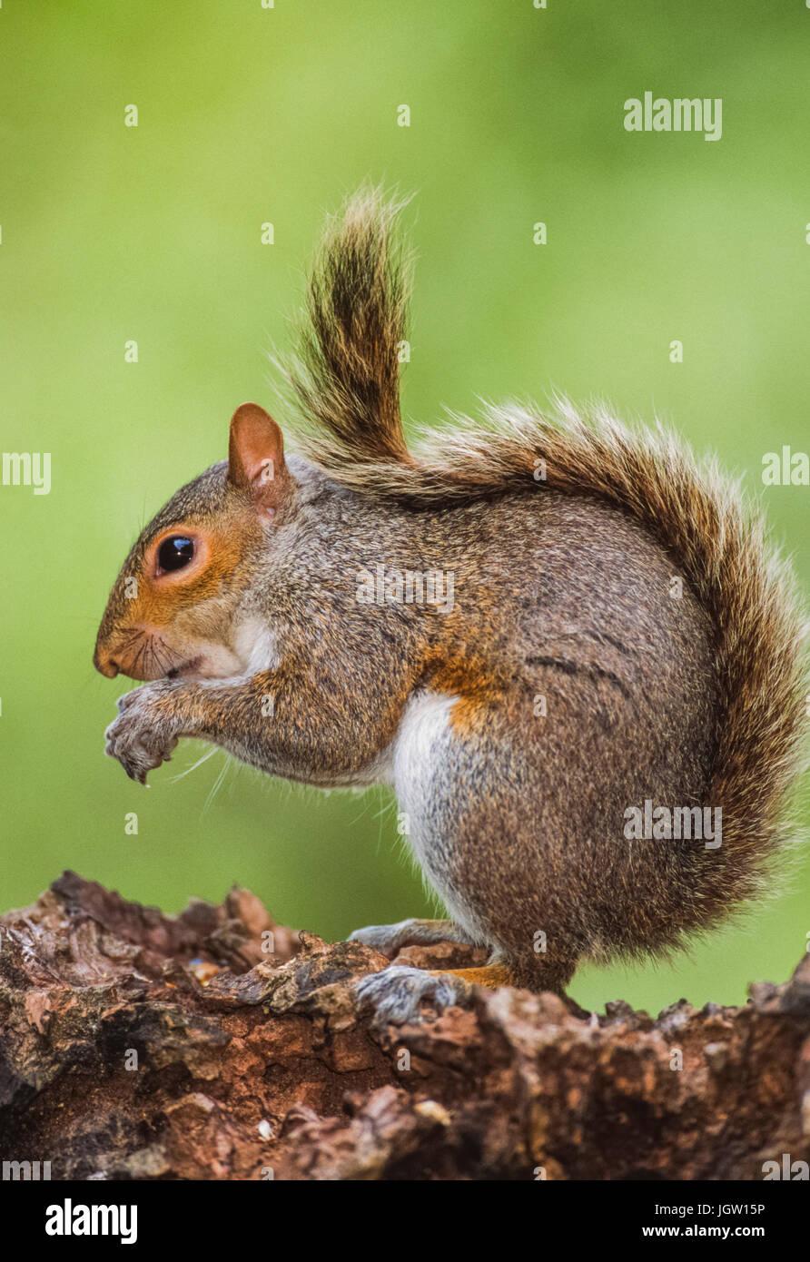 Grey Squirrel, (Sciurus carolinensis), Regents Park, London, United Kingdom - Stock Image