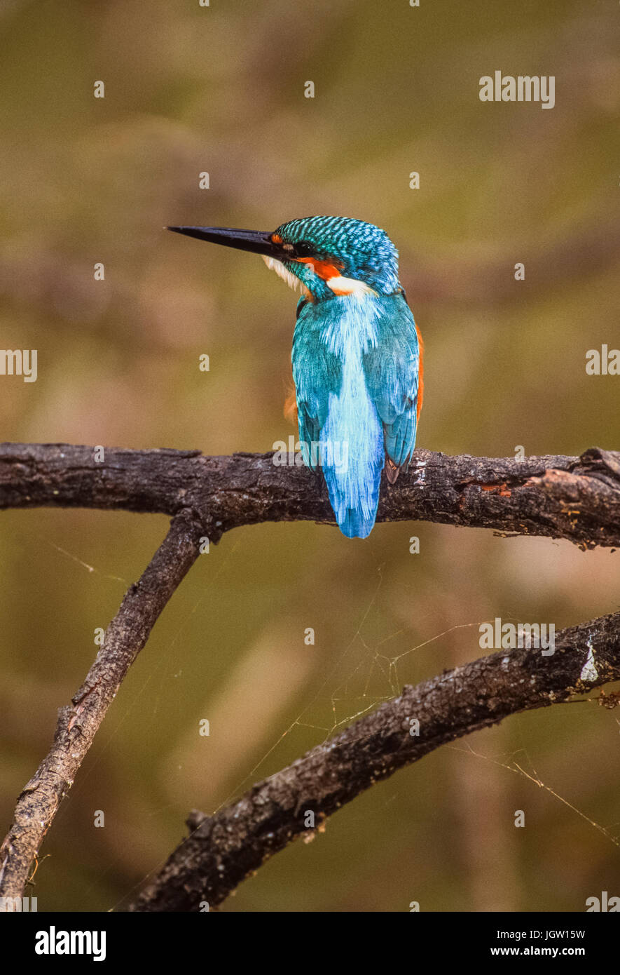Common kingfisher (Alcedo atthis) also known as Eurasian kingfisher or River kingfisher, Keoladeo Ghana National - Stock Image