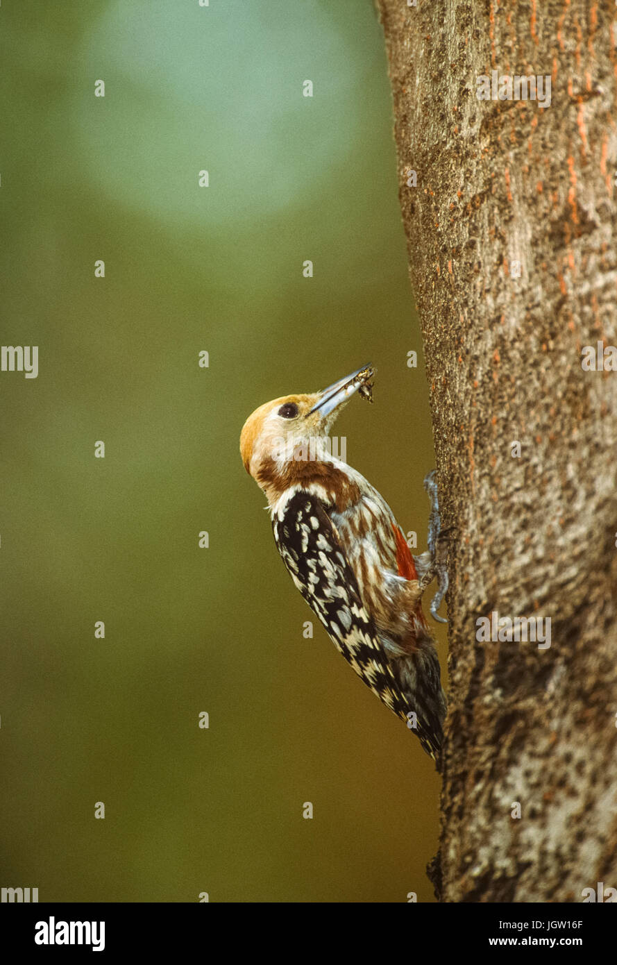 Yellow-crowned woodpecker, (Leiopicus mahrattensis) or Mahratta woodpecker, female at nest hole, Keoladeo Ghana - Stock Image