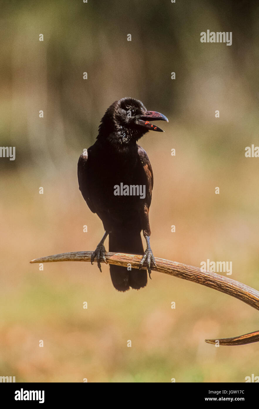Indian jungle crow (Corvus culminatus),perched on Spotted Deer antlers, Keoladeo Ghana National Park, Bharatpur, - Stock Image