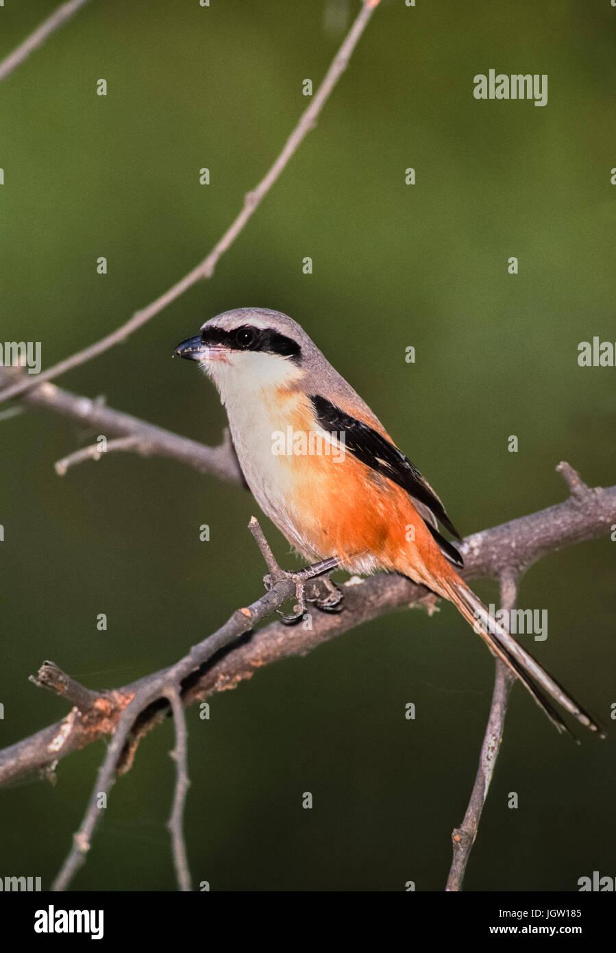 Long-Tailed Shrike or Rufous-Backed Shrike, (Lanius schach),Keoladeo Ghana National Park, Bharatpur, Rajasthan, - Stock Image