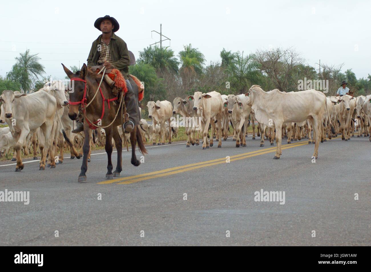 Herd, Cattle, Bonito, Mato Grosso do Sul, Brazil - Stock Image
