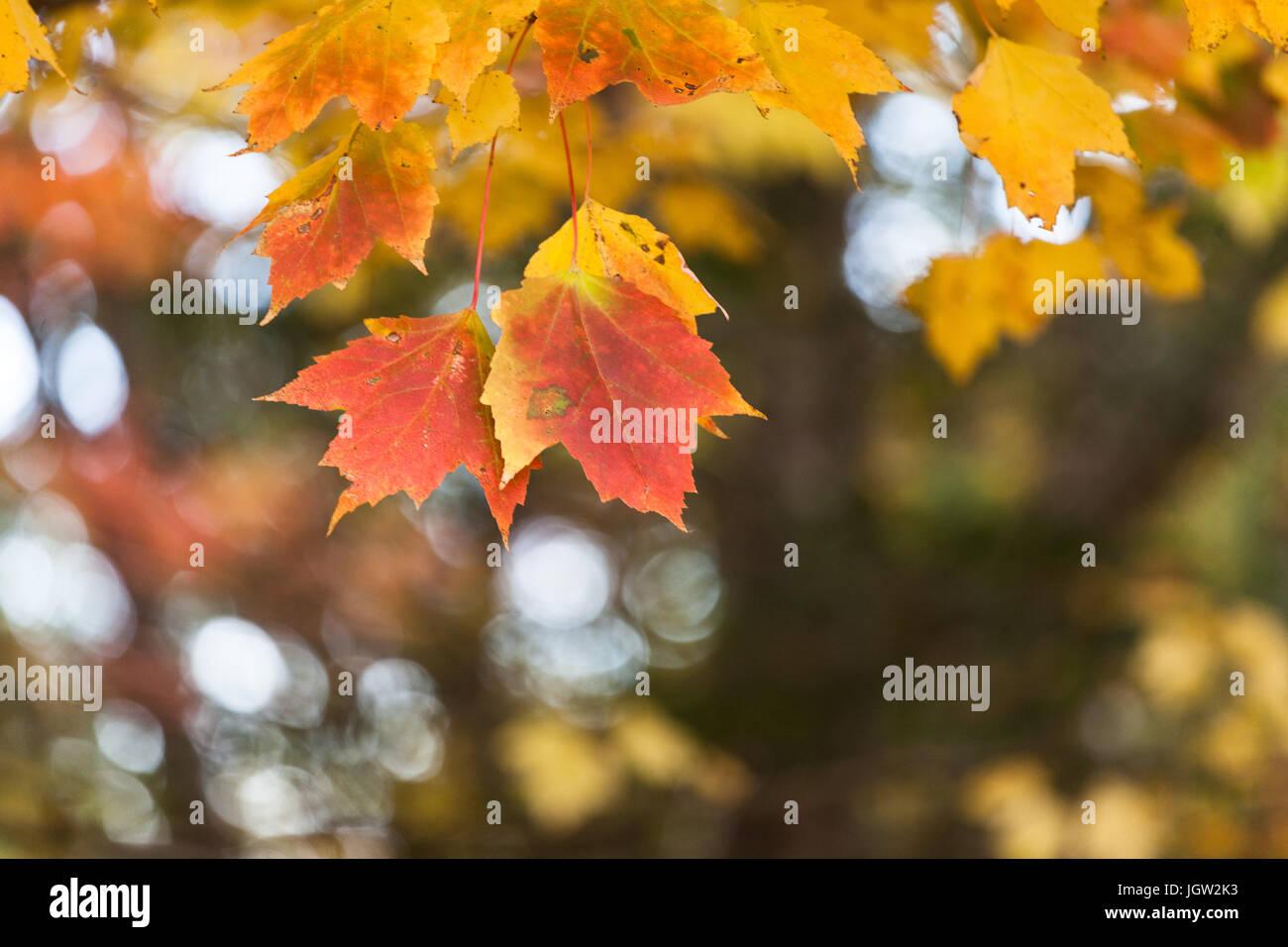 Beautiful fall foliage - Stock Image