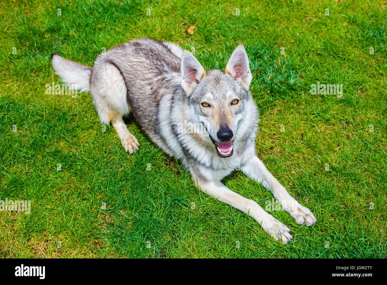 Czechoslovakian wolfdog on a garden. - Stock Image