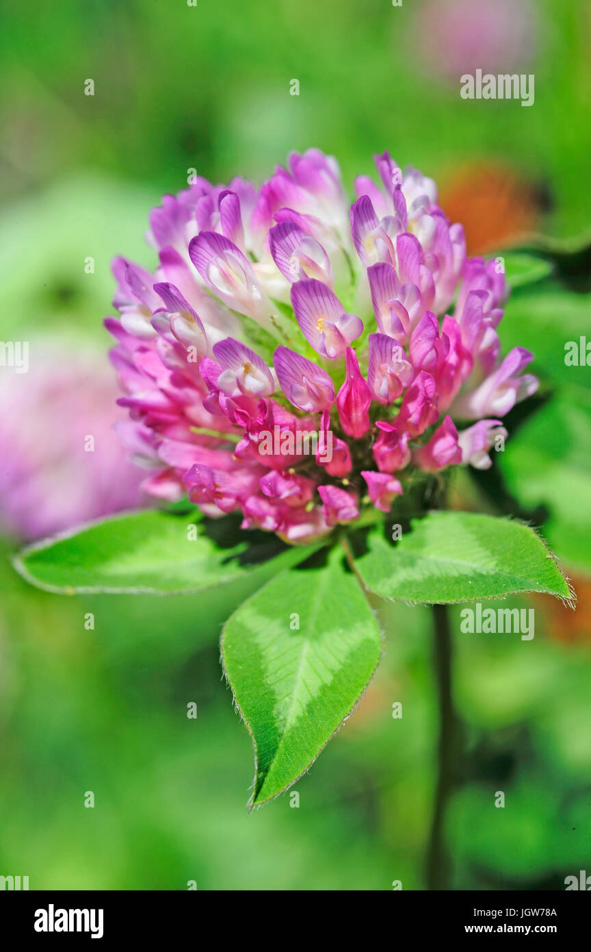 Red Clover in bloom Stock Photo