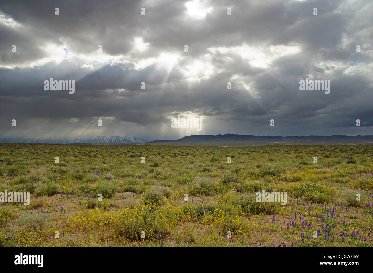 dramatic sky with sunrays over a desert field with wildflowers - Stock Image