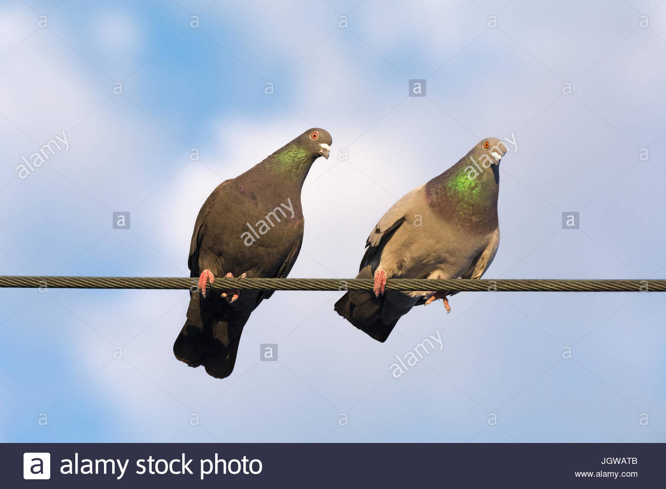 A pair of Rock Pigeons perched on a wire looking down with curiosity - Stock Image