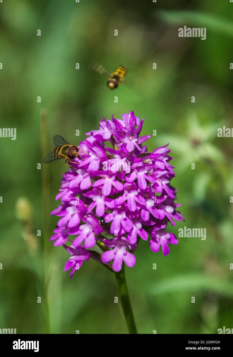 Flowering Pyramidal Orchid (Anacamptis pyramidalis) with a Hoverfly (Syrphidae, Flower Fly, Syrphid Fly) feeding - Stock Image