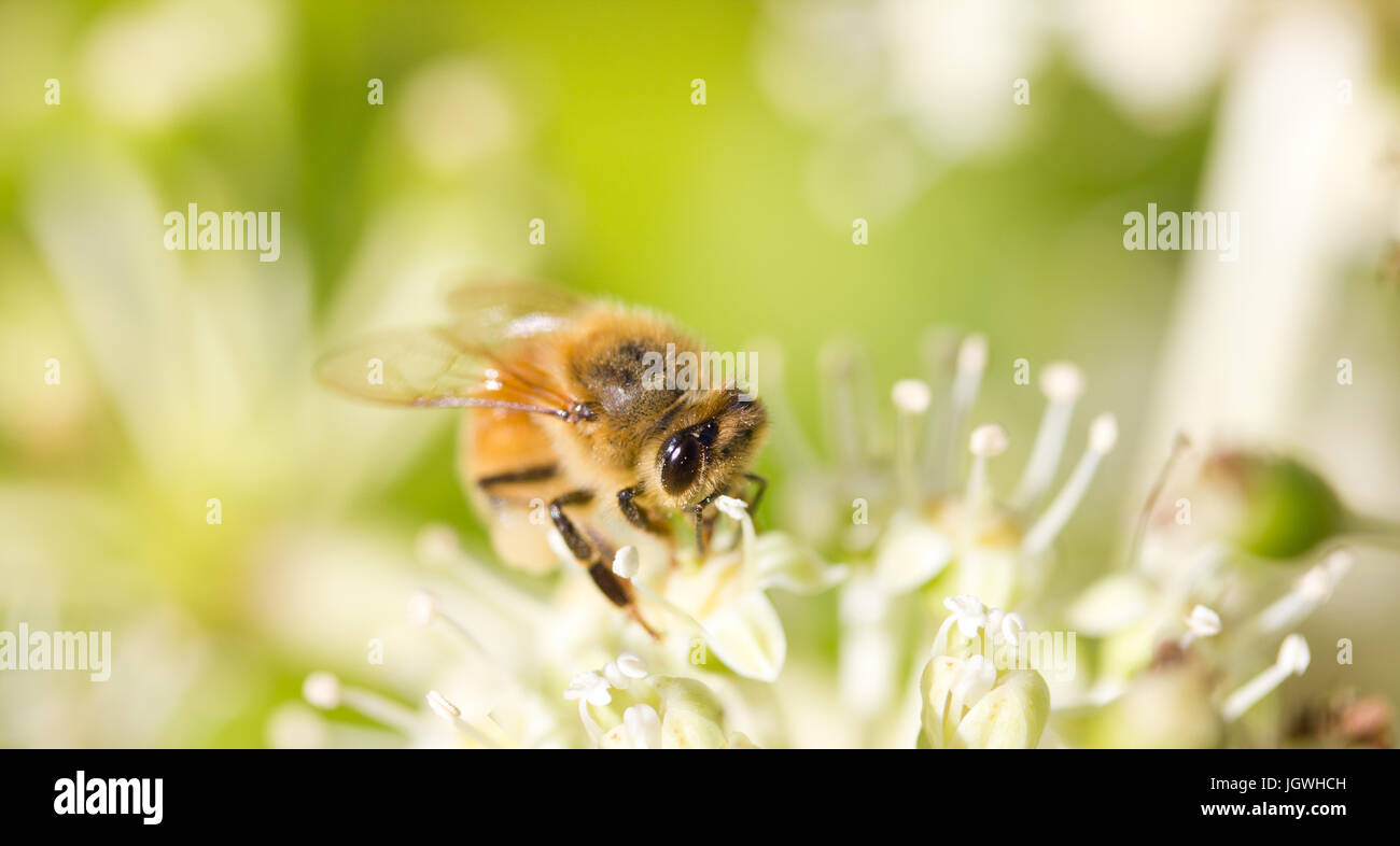 Bee collecting pollen on White flower with blurred green background photo - Stock Image