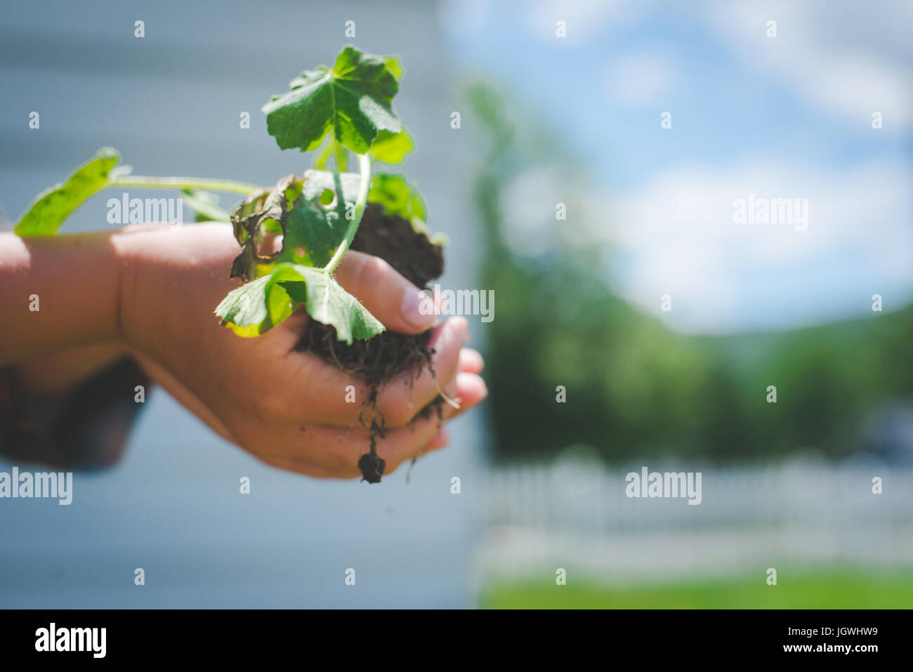 A child's hands hold a plant with soil under it. - Stock Image