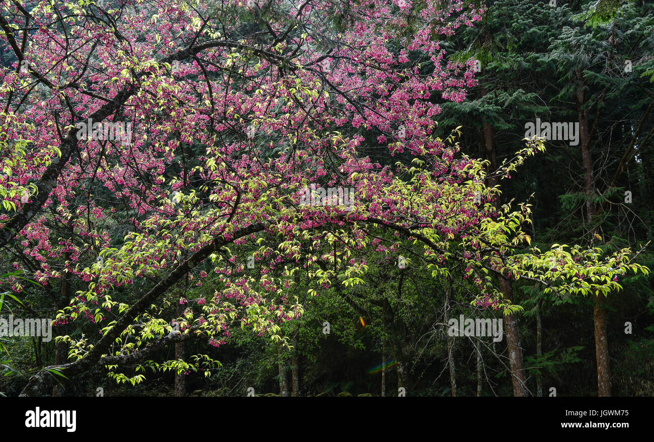 Cherry tree and pine tree stock photos cherry tree and pine tree cherry flowers blooming at pine tree forest in spring time stock image mightylinksfo