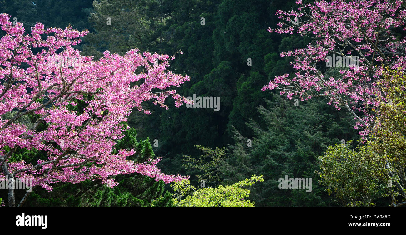 Pine tree forest with cherry flowers at sunny day in spring time pine tree forest with cherry flowers at sunny day in spring time mightylinksfo