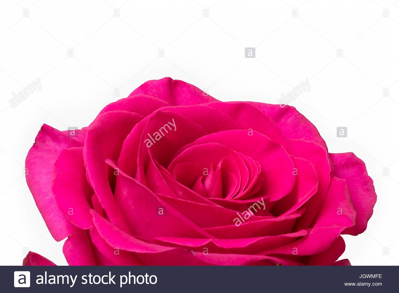 Big Pink Rose White Background Stock Photo