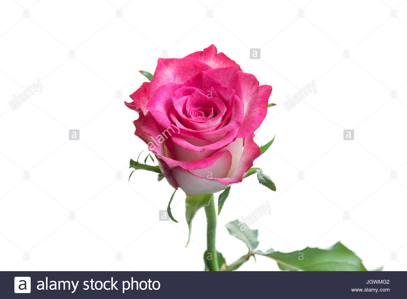 Pink and white rose close-up white background Stock Photo