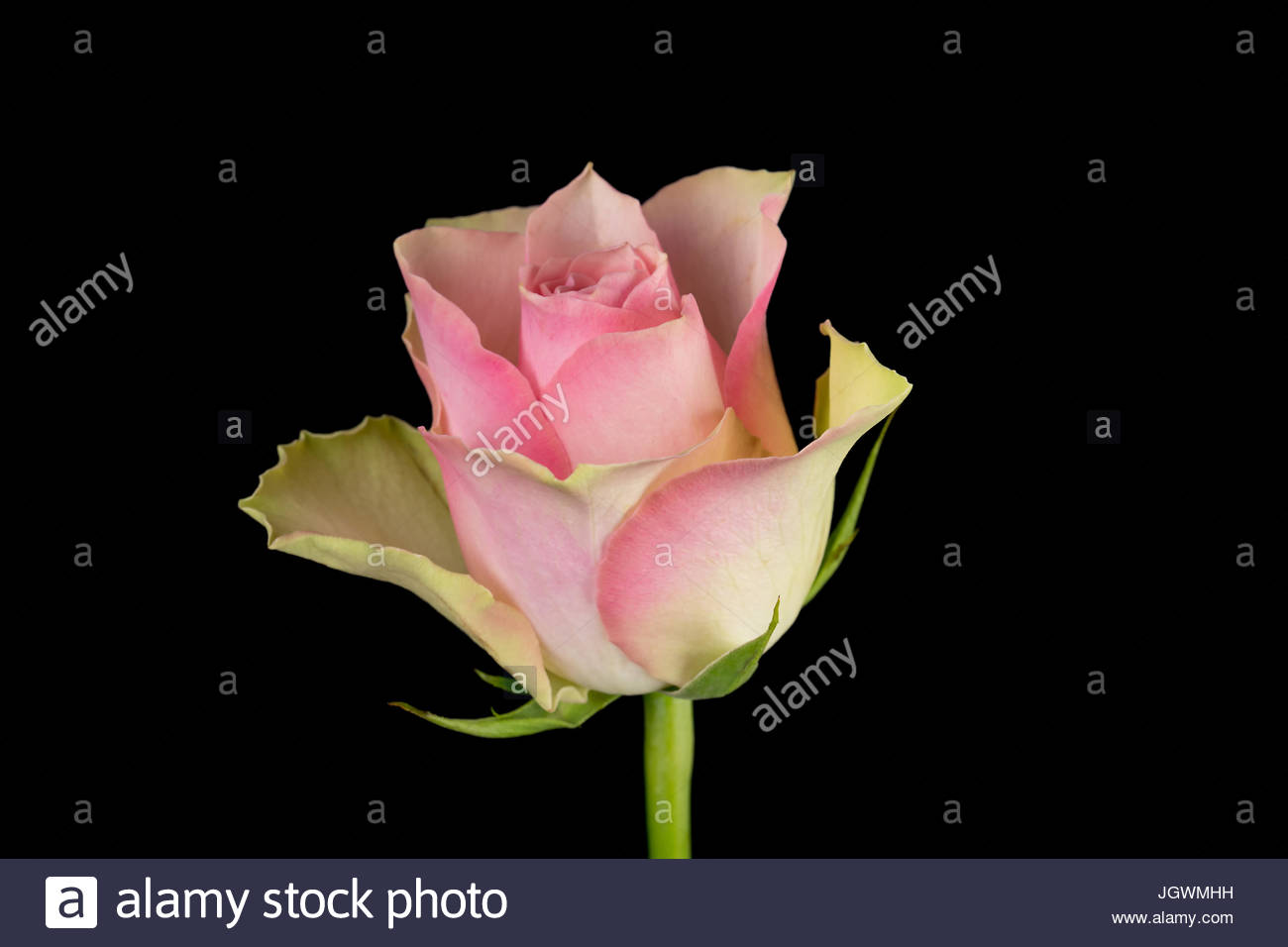 Pink and white rose black background close-up Stock Photo