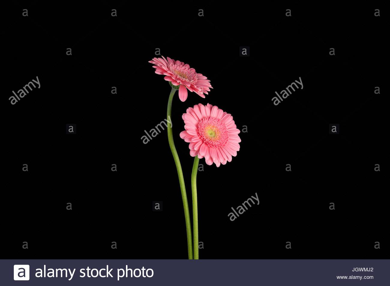 Pink Gerberas against black background Stock Photo