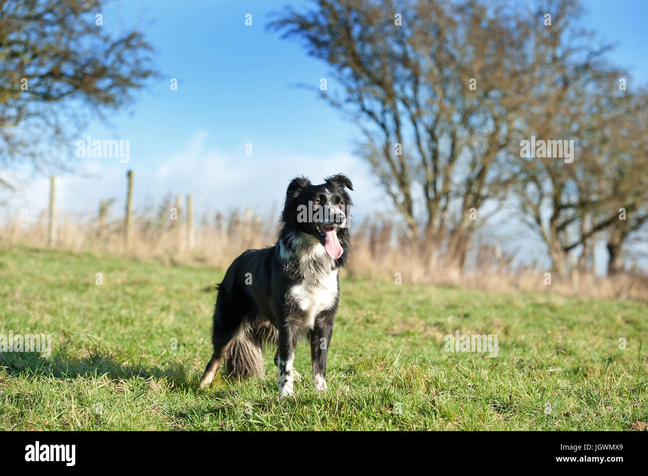 Sheepdog - Stock Image