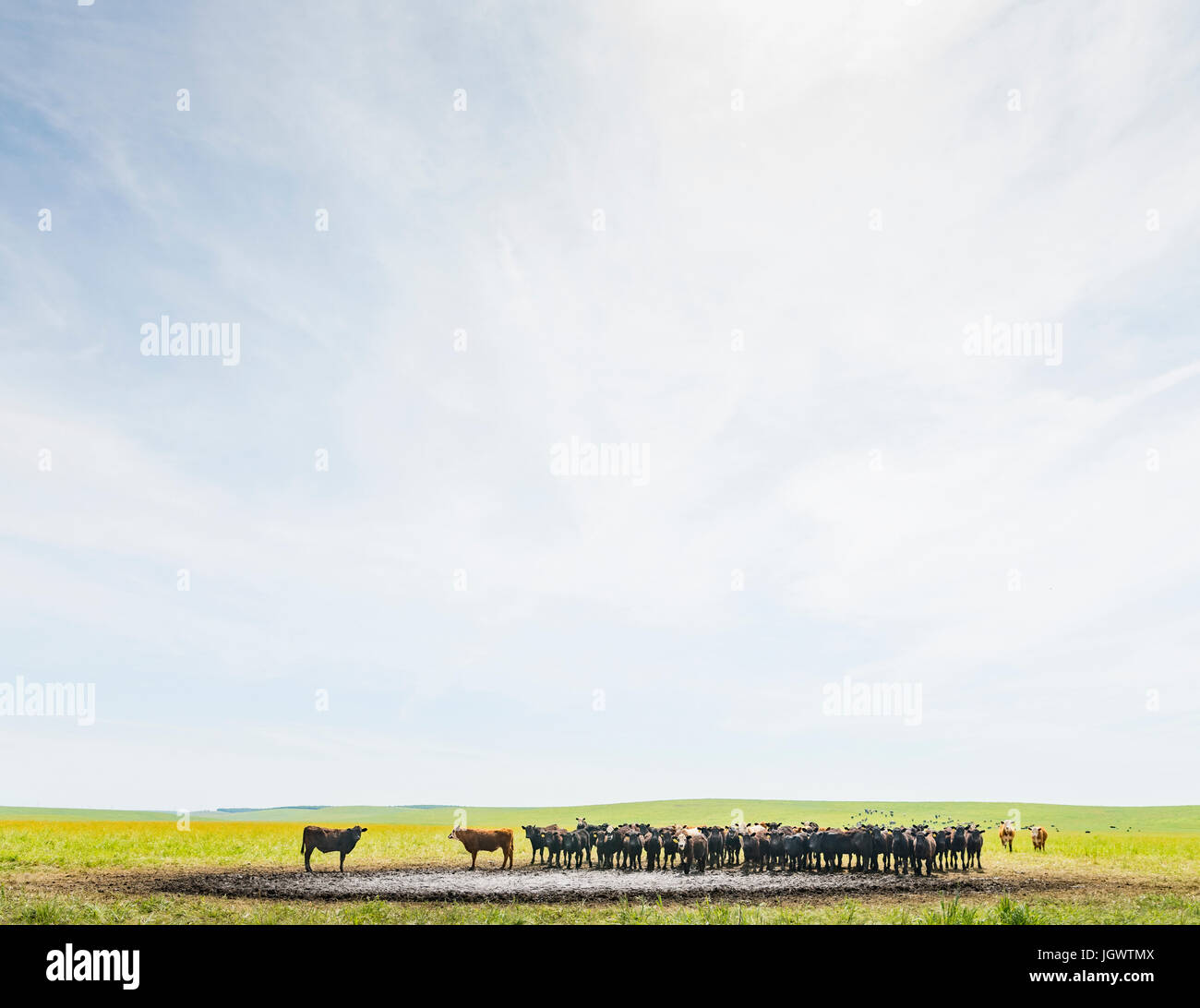 Herd of cows at watering hole in field landscape - Stock Image