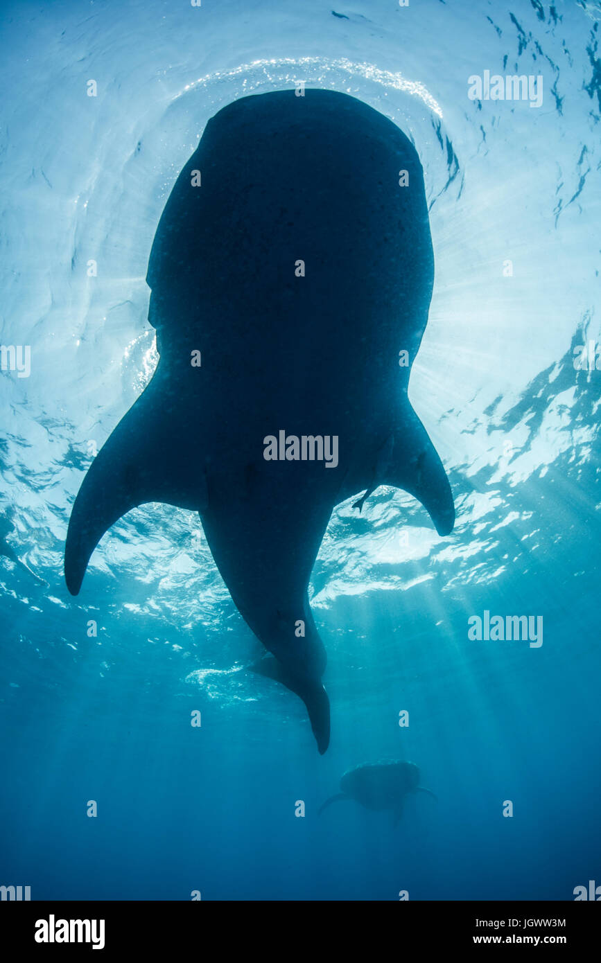 Underside view of whale shark (rhyncodon typus) feeding on the water surface, Isla Mujeres, Mexico - Stock Image