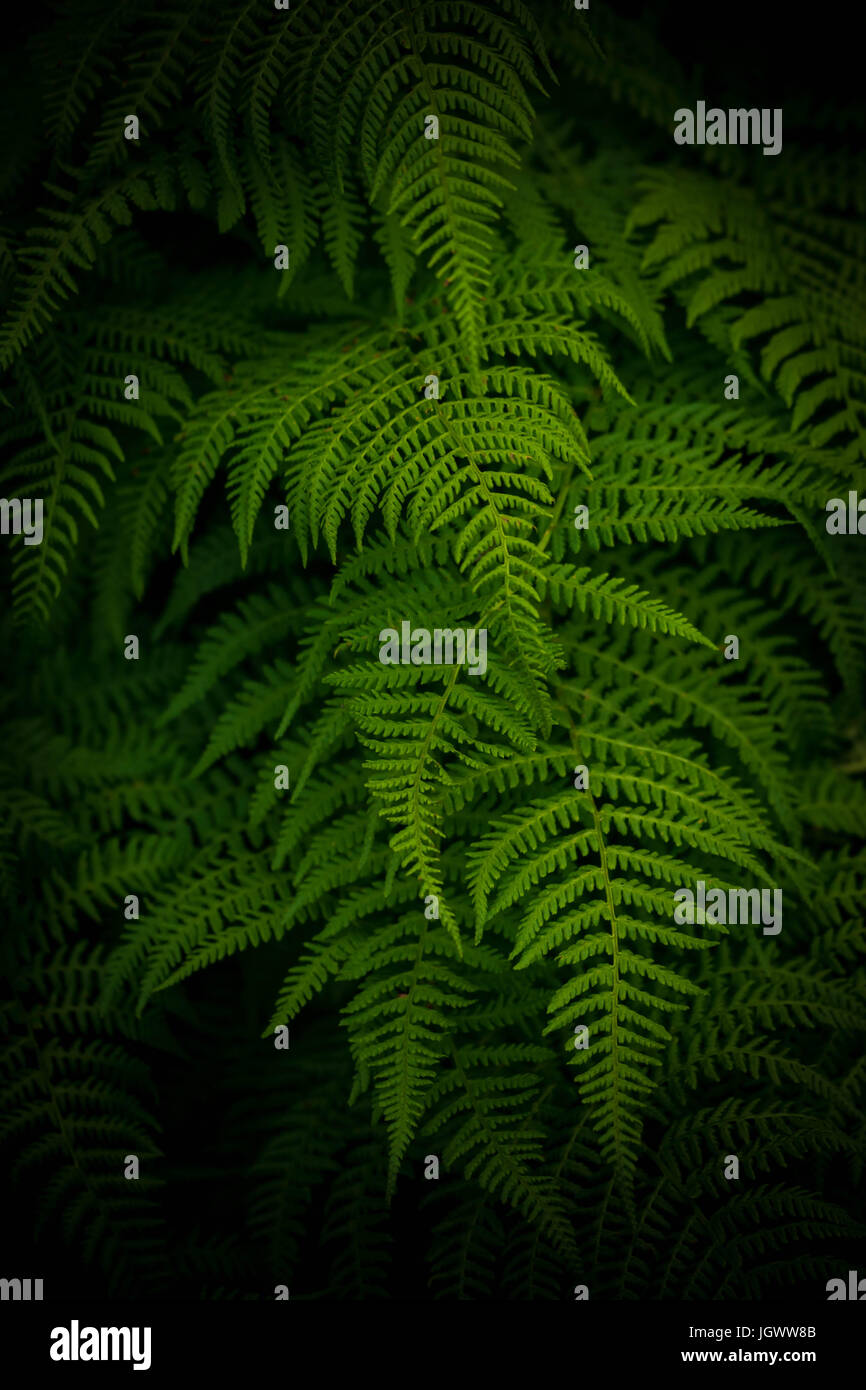 Green ferns - Stock Image