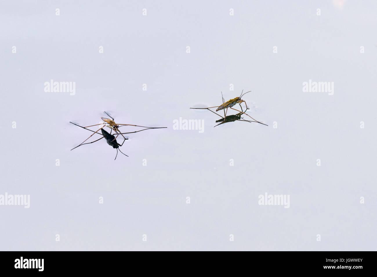 Pond skater Gerris lacustris walks on water using surface tension - Stock Image