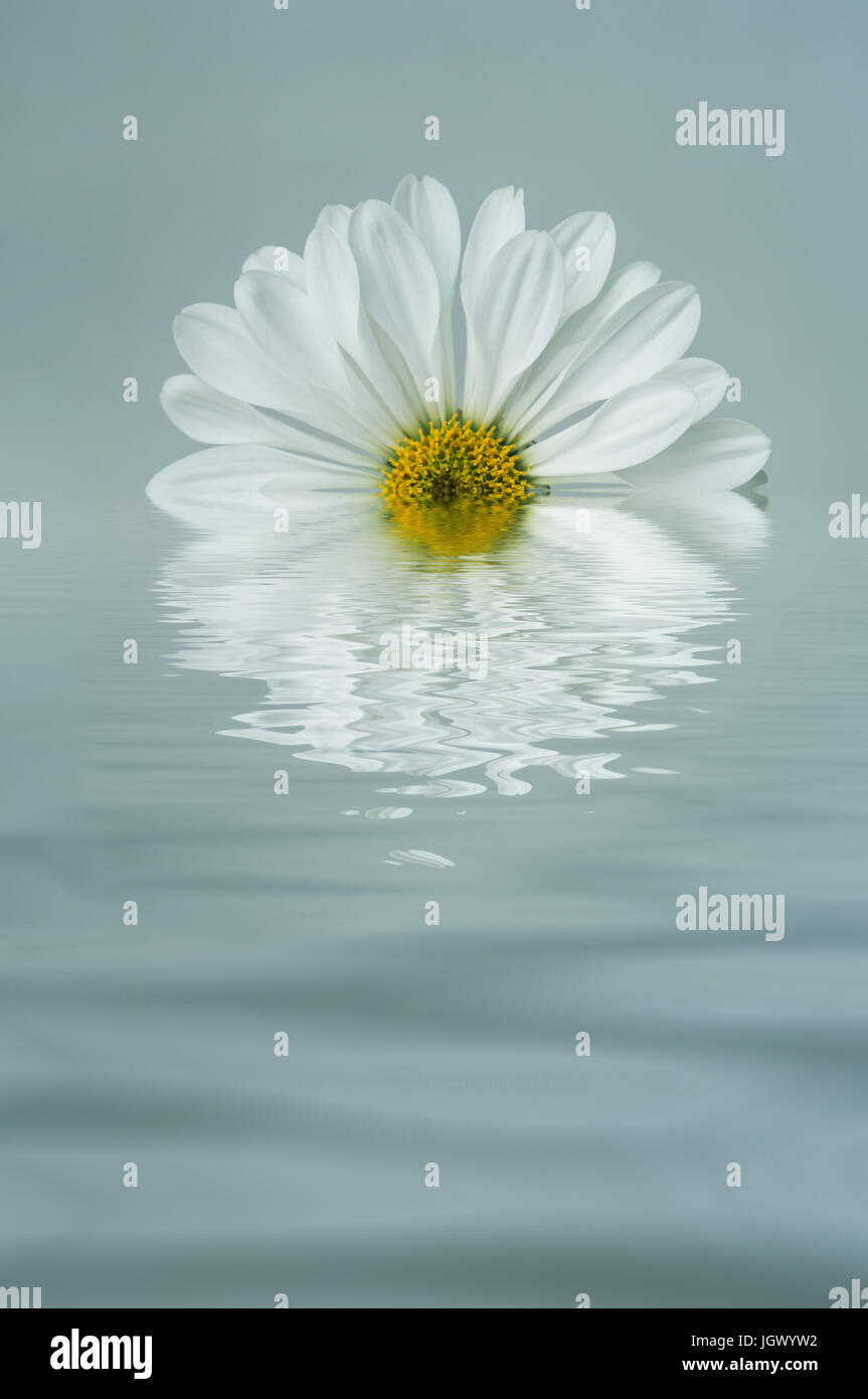 A white, daisy shaped Chrysanthemum edited to appear half submerged and reflected in rippling blue water. - Stock Image