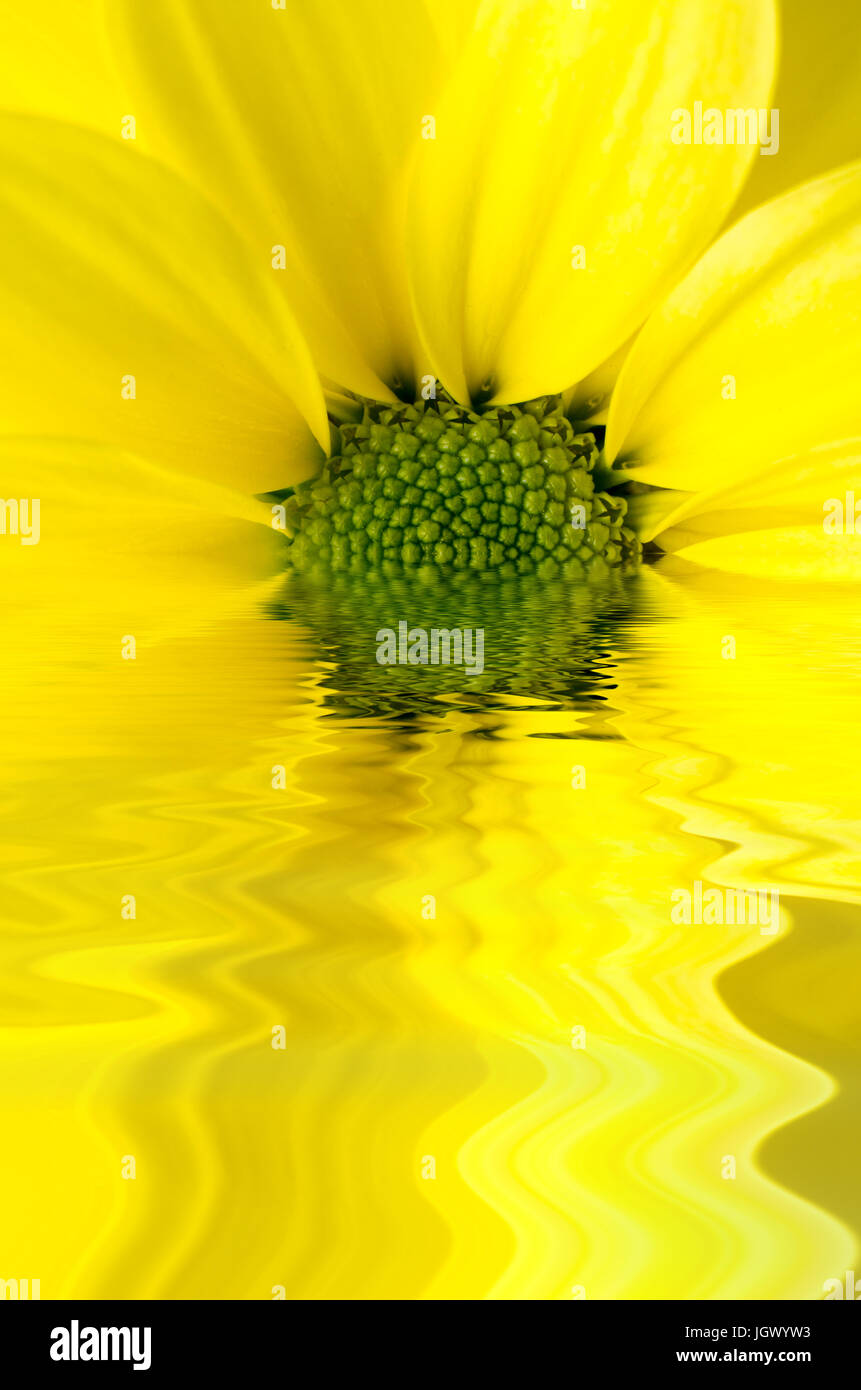 A yellow, daisy shaped Chrysanthemum edited to appear half submerged and reflected in rippling water. - Stock Image