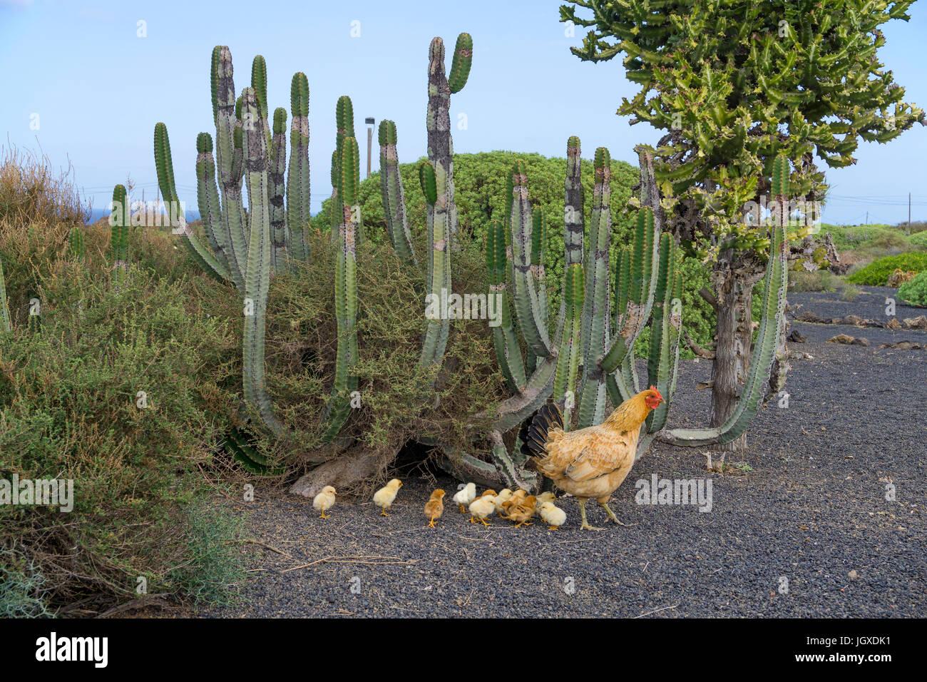 Hen with chicken at cactus, Pardela Park, Las Pardelas Lanzarote, Canary islands, Europe Stock Photo