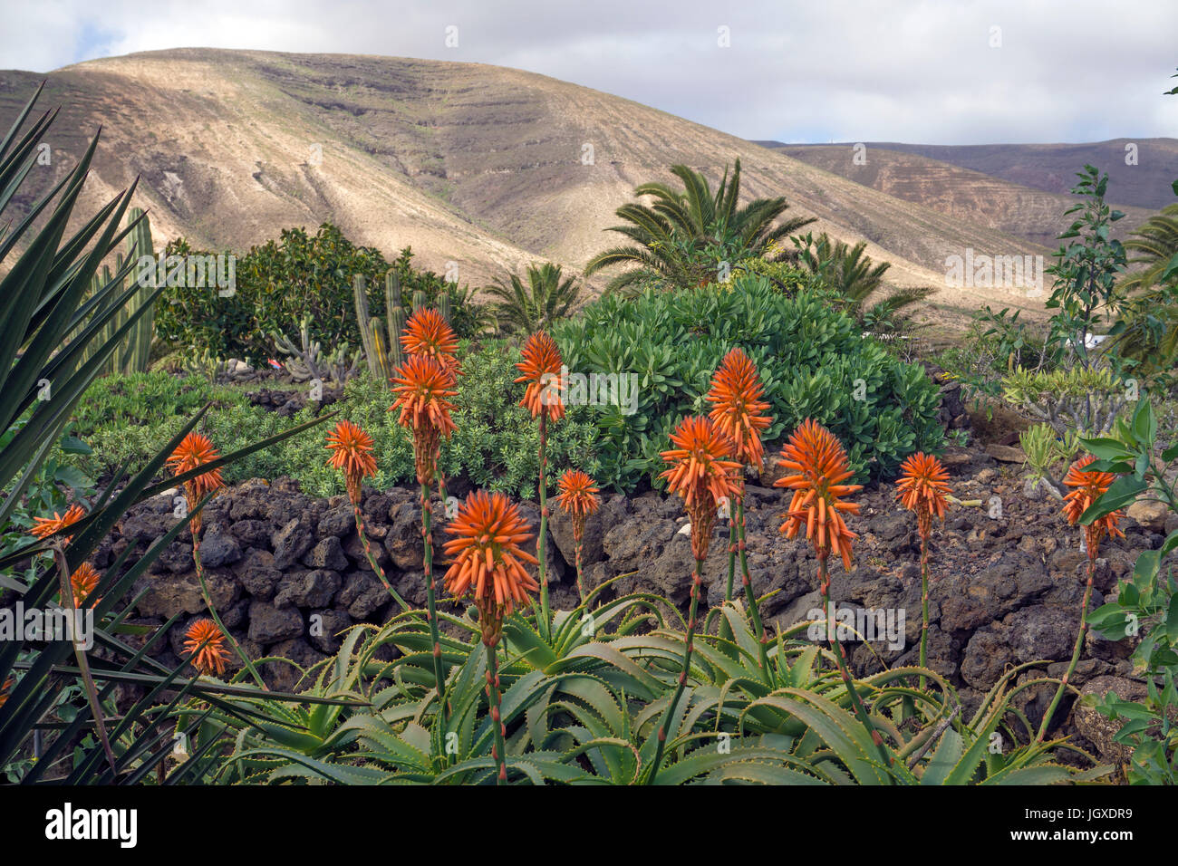 Bluehende Echte Aloe (Aloe vera, Aloe barbadensis) am Pardela Park, Las Pardelas, Lanzarote, Kanarische Inseln, - Stock Image