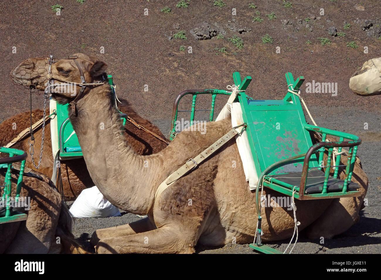 Dromedare, einhoeckriges Kamel (Camelus dromedarius), Reitkamele fuer touristische Ausfluege im Nationalpark Timanfaya, - Stock Image