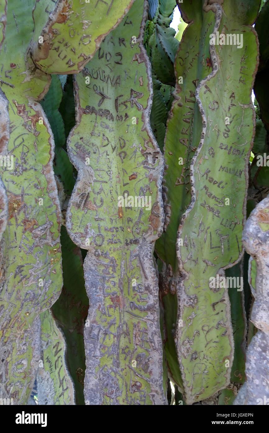 Eingeritzte Namen und Zeichen am Kandelaber-Wolfsmilch (Euphorbia canariensis) auch Kanaren-Wolfsmilch genannt, - Stock Image