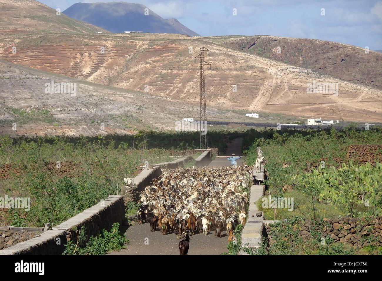 Ziegenherde bei Guatiza, Lanzarote, Kanarische Inseln, Europa | Goat herd at Guatiza, Lanzarote, Canary islands, - Stock Image