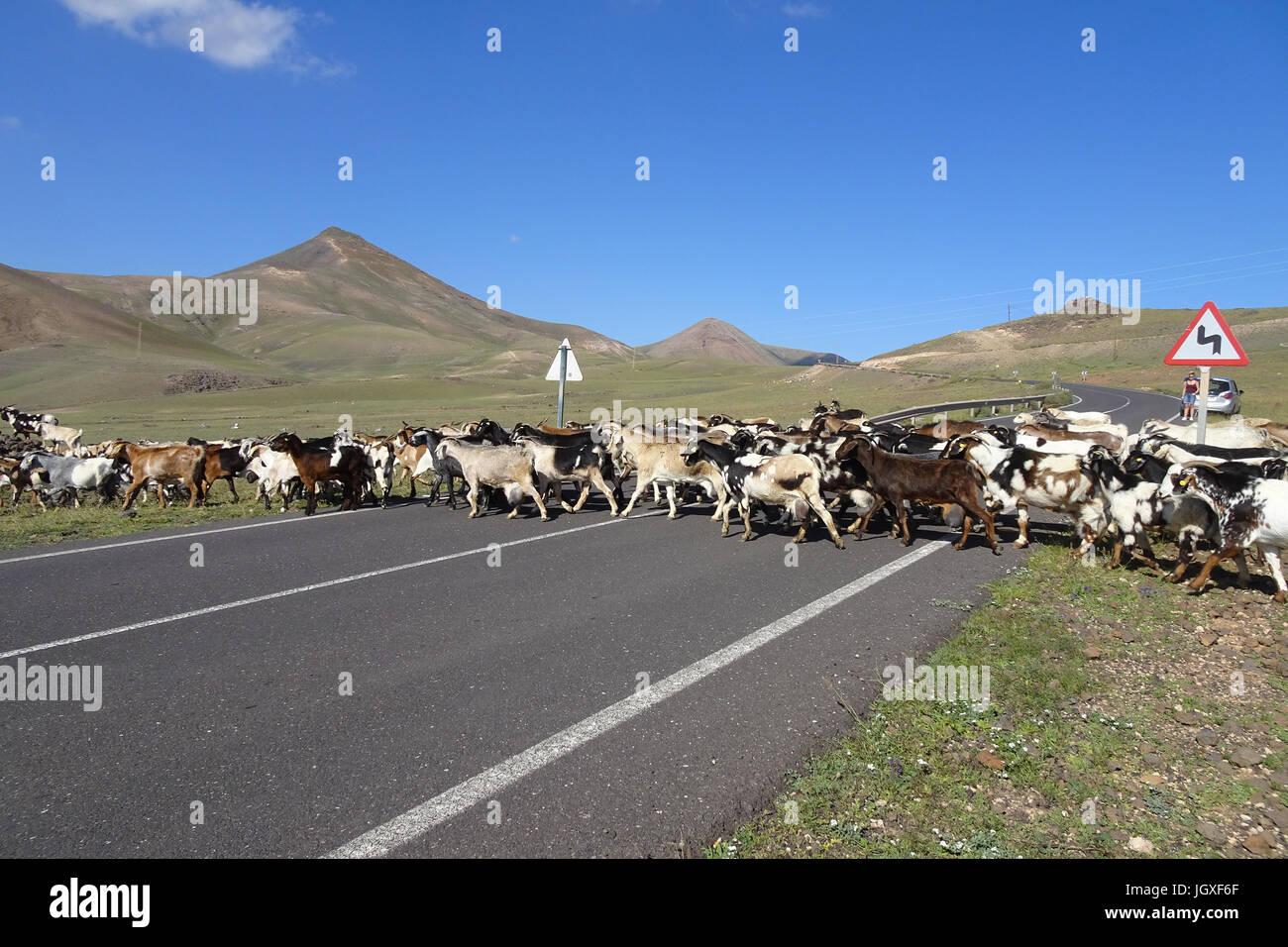 Ziegenherde ueberquert die Zufahrtsstrasse nach Playa Quemada, Lanzarote, Kanarische Inseln, Europa | Goat herd - Stock Image