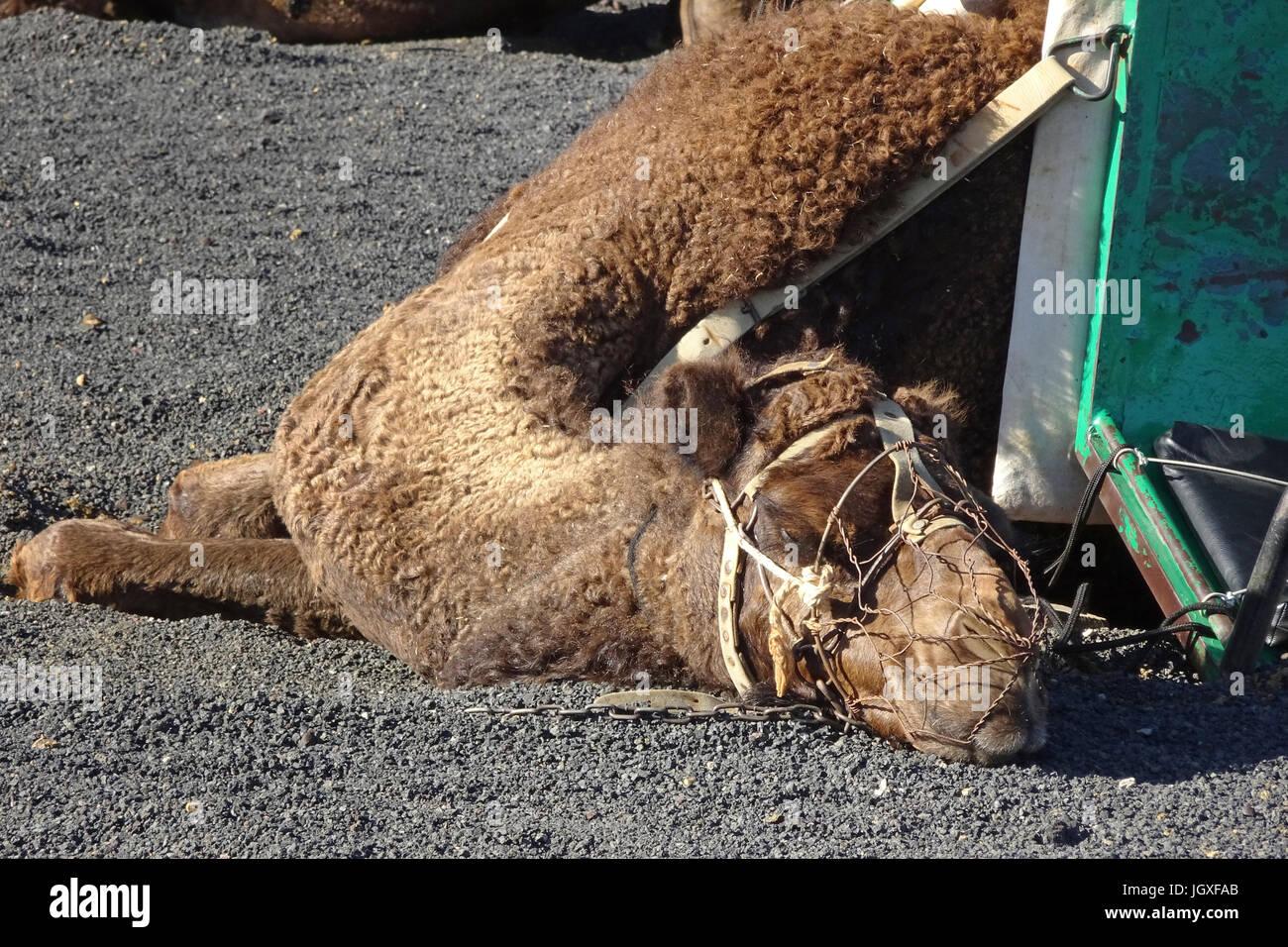 Doesendes Dromedar, einhoeckriges Kamel (Camelus dromedarius), Reitkamele fuer touristische Ausfluege im Nationalpark - Stock Image
