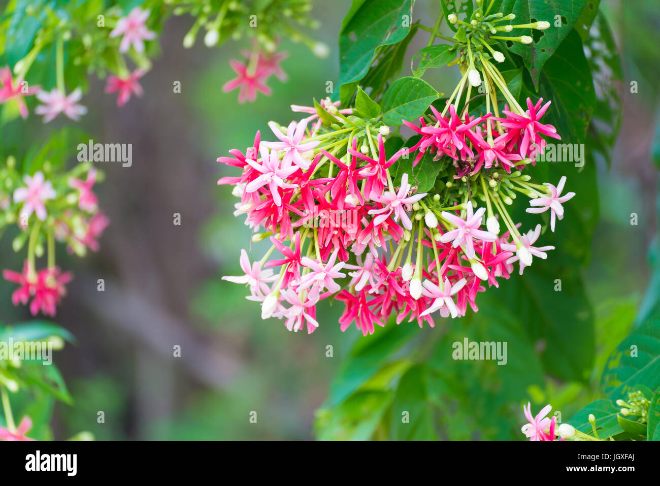 Thai small pink flowers blossom quisqualis indica flower plant thai small pink flowers blossom quisqualis indica flower plant chinese honeysuckle rangoon creeper or combretum indicum shallow focus mightylinksfo