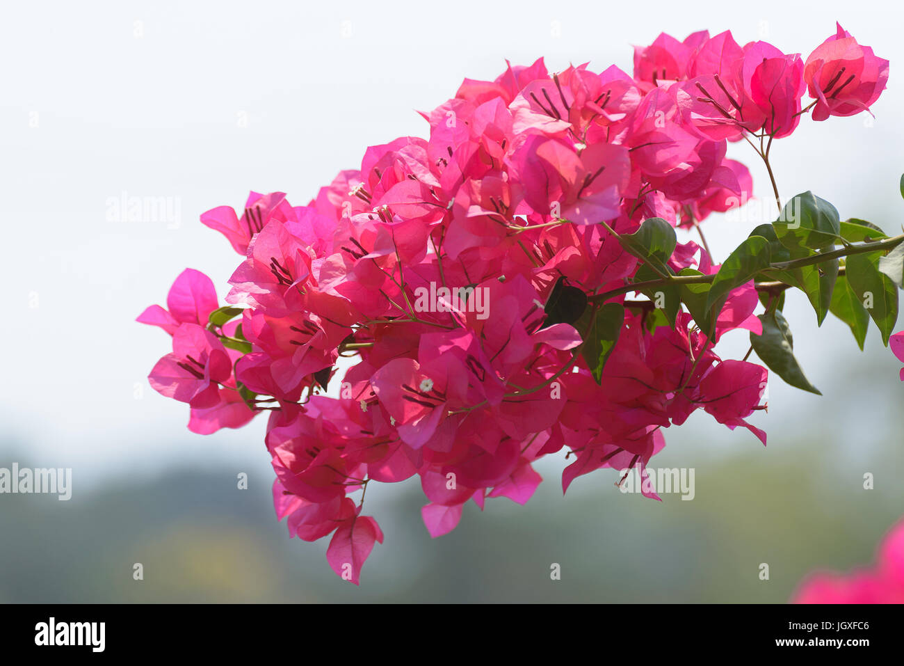 Pink bougainvillea flower or paper flower with leaves in the garden pink bougainvillea flower or paper flower with leaves in the garden plant background blurry asian flowers shallow dof mightylinksfo