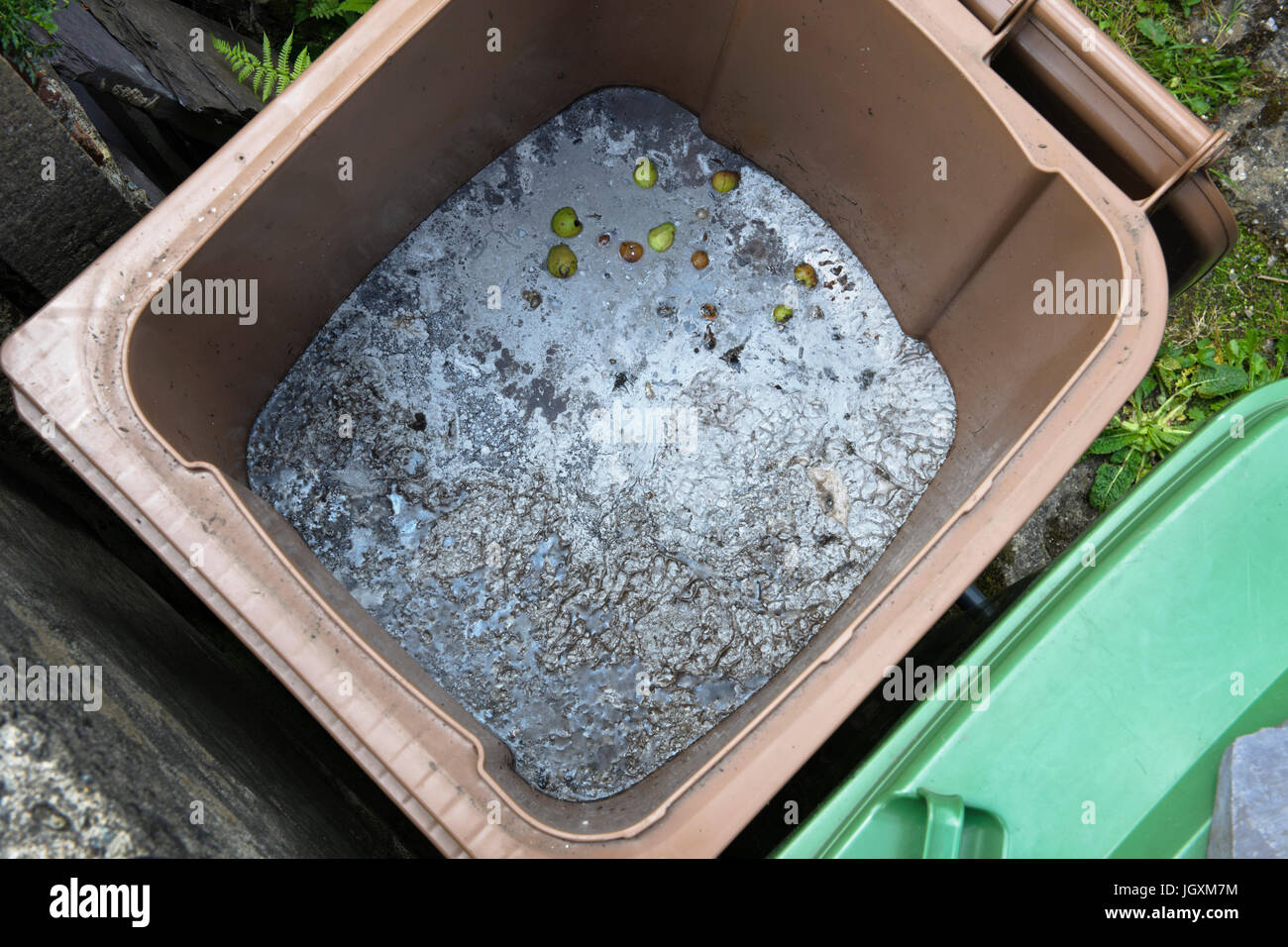 Disposing of perennial weeds by drowning in a green waste recycling bin. After three months the surface has covered - Stock Image