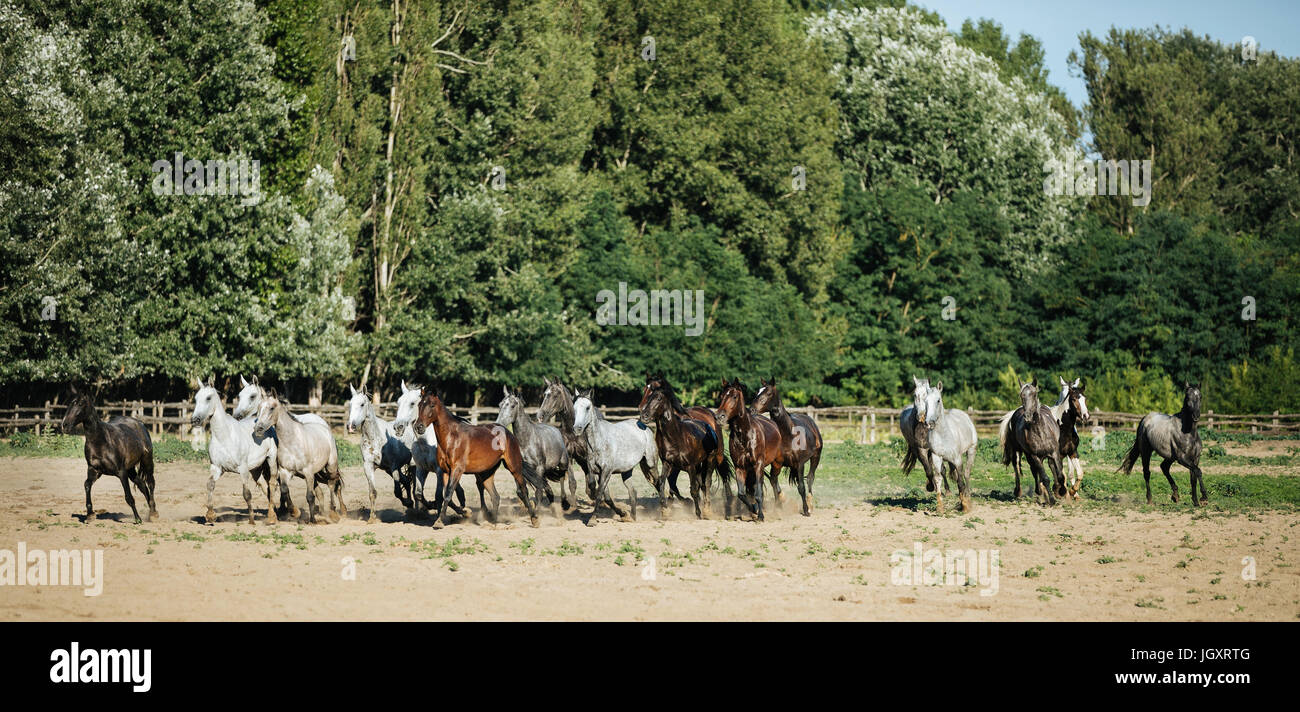 Horse herd run gallop across animal farm in the dust against green natural background Stock Photo