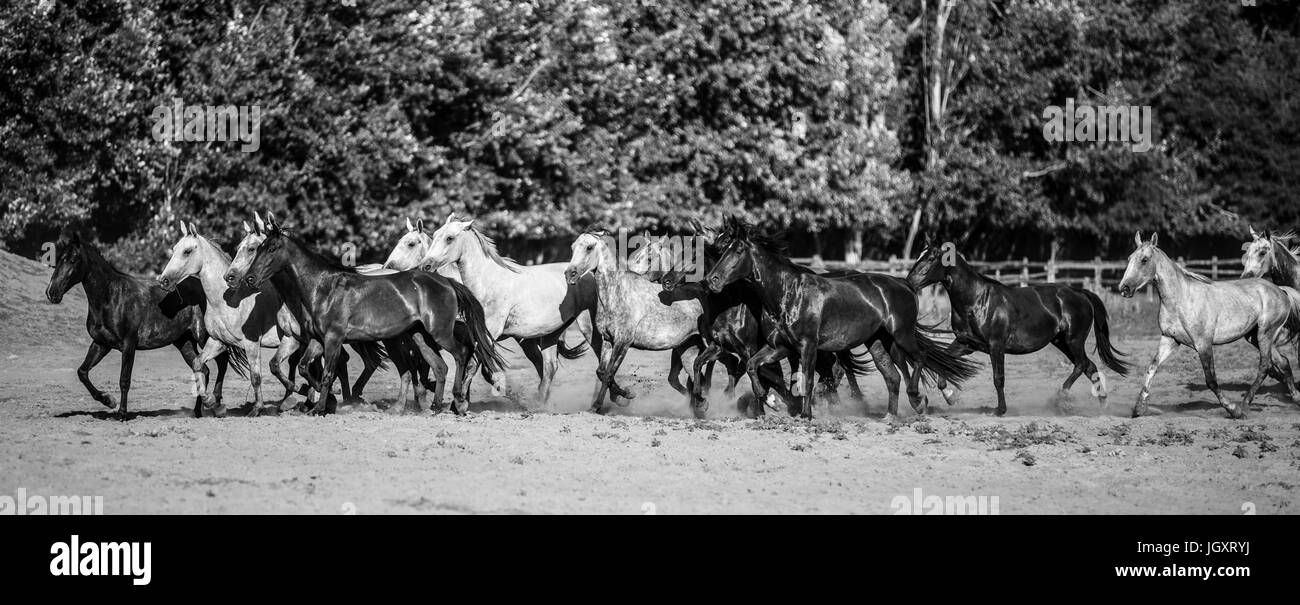 Panoramic side view shot of galloping horses at rural animal farm summertime monochrome version - Stock Image