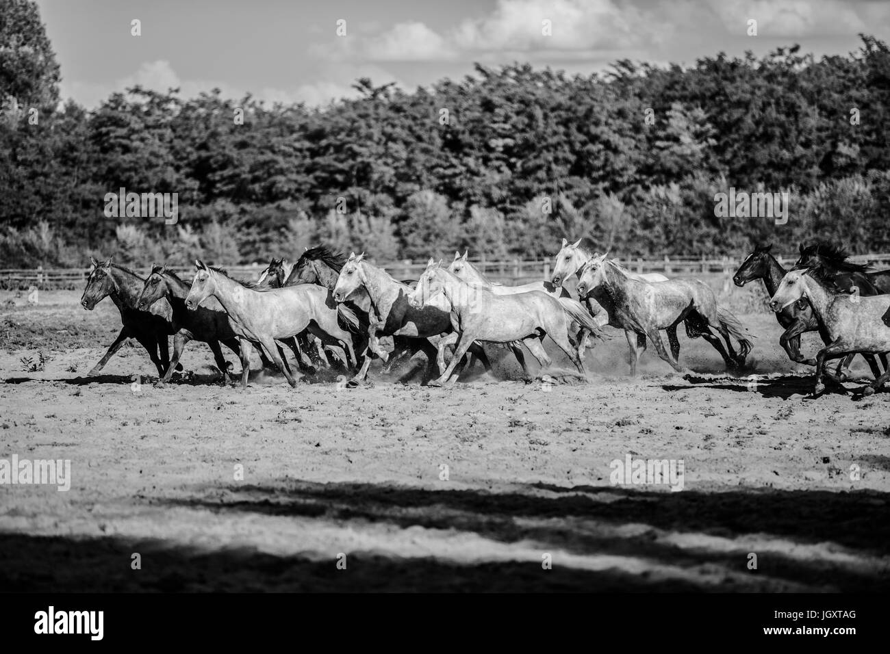Black and white colored photo of running horses summertime - Stock Image