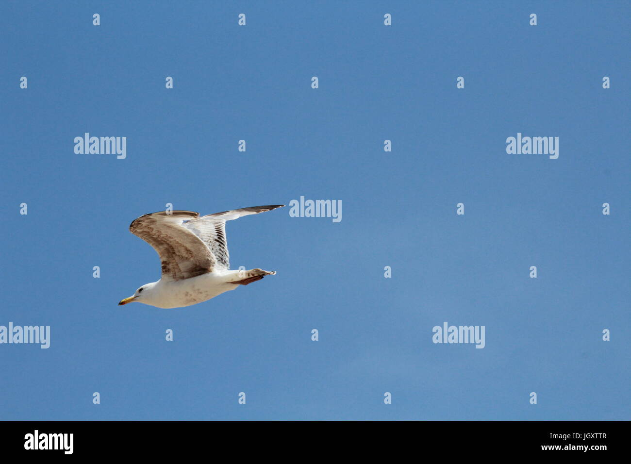 Seagull flying in blue sky - Stock Image